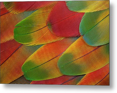 Harlequin Macaw Wing Feather Design Metal Print by Darrell Gulin