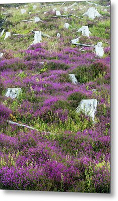 Heather Growing Metal Print by Ashley Cooper