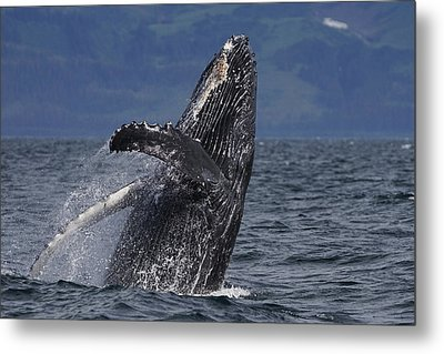 Humpback Whale Breaching Prince William Metal Print by Hiroya Minakuchi