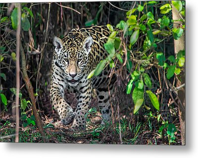 Jaguar Panthera Onca, Pantanal Metal Print by Panoramic Images
