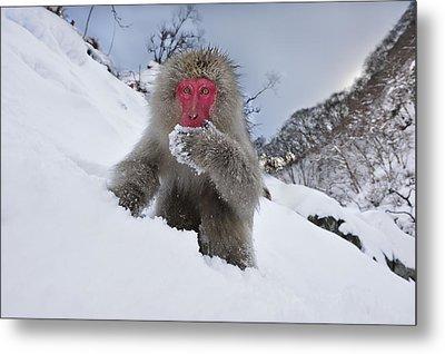 Japanese Macaque In Snow Jigokudani Metal Print by Thomas Marent