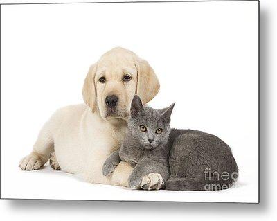 Labrador Puppy With Chartreux Kitten Metal Print by Jean-Michel Labat