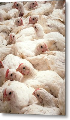 Large Number Of Hens In A Barn Metal Print by Aberration Films Ltd