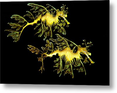 Leafy Sea Dragon Metal Print by James Roemmling