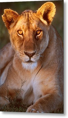 Lioness Tanzania Africa Metal Print by Panoramic Images
