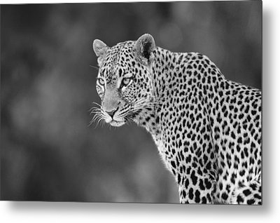 Lovely Leopard Metal Print by Michele Burgess