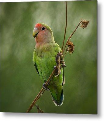 Lovely Little Lovebird  Metal Print by Saija  Lehtonen