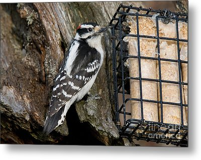 Male Hairy Woodpecker Metal Print by Linda Freshwaters Arndt