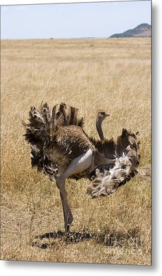 Male Ostrich Performing Distraction Metal Print by Gregory G. Dimijian, M.D.