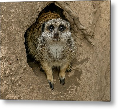 Meerkat Metal Print by Ernie Echols