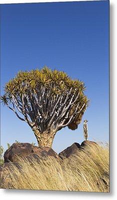 Meerkat In Quiver Tree Grassland Metal Print by Vincent Grafhorst