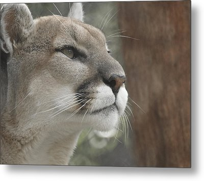 Mountain Lion Metal Print by Ernie Echols
