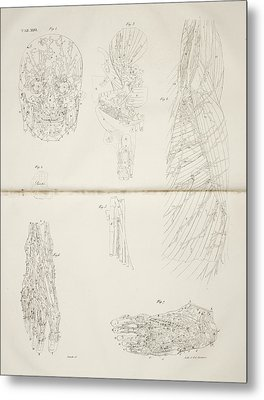 Muscular System Metal Print by British Library
