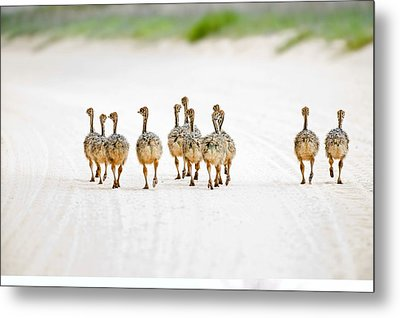 Ostrich Chicks Metal Print by Science Photo Library