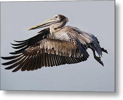 Pelican In Flight Metal Print by Paulette Thomas