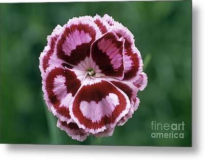 Pink Dianthus Becky Robinson Metal Print by Archie Young