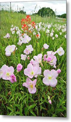 Pink Evening Primrose (oenothera Metal Print by Larry Ditto