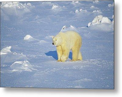 Polar Bear (ursus Maritimus Metal Print by Richard and Susan Day