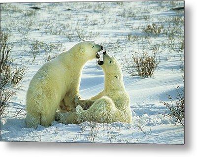 Polar Bears (ursus Maritimus Metal Print by Richard and Susan Day