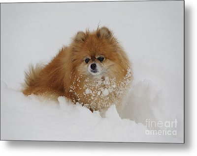 Pomeranian In Snow Metal Print by John Shaw