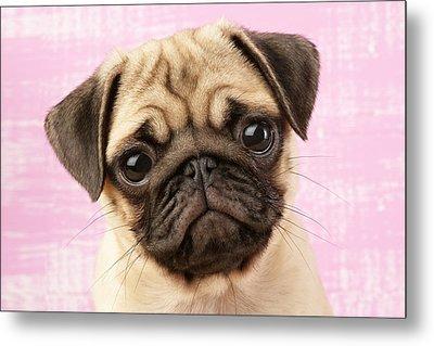 Pug Portrait Metal Print by Greg Cuddiford