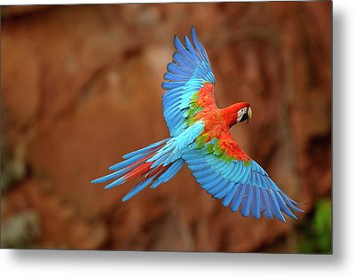 Red And Green Macaw Flying Metal Print by Pete Oxford