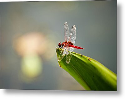 Red Dragonfly Metal Print by Ulrich Schade