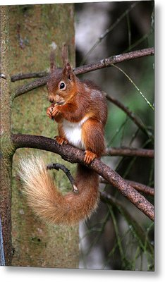 Red  Squirrel Metal Print by Tom Gallacher