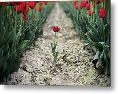 Red Tulips Metal Print by Jim Corwin