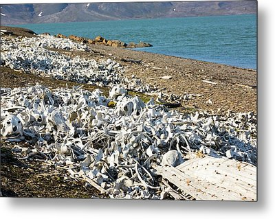 Remains Of Beluga Whales Metal Print by Ashley Cooper