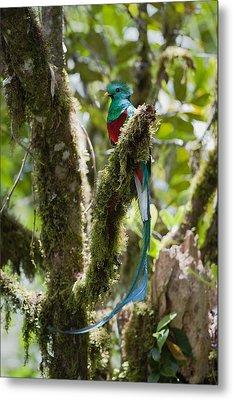 Resplendent Quetzal Male Costa Rica Metal Print by Konrad Wothe