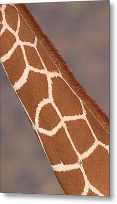 Reticulated Giraffe Giraffa Metal Print by Panoramic Images