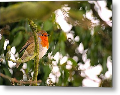Robin Metal Print by Dave Woodbridge