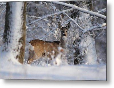 Roe  Deer Metal Print by Dragomir Felix-bogdan