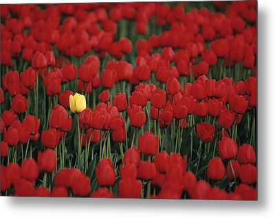 Rows Of Red Tulips With One Yellow Tulip Metal Print by Jim Corwin