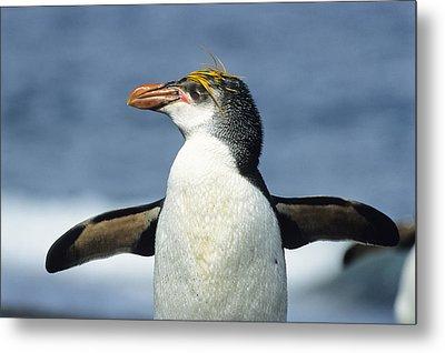 Royal Penguin Macquarie Isl Antarctica Metal Print by Konrad Wothe