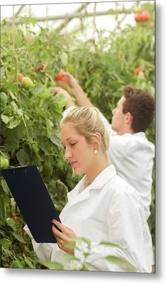 Scientists Examining Tomatoes Metal Print by Gombert, Sigrid