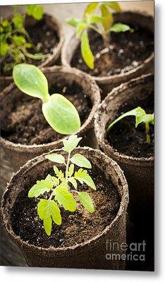 Seedlings Growing In Peat Moss Pots Metal Print by Elena Elisseeva