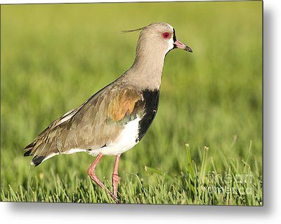 Southern Lapwing Metal Print by William H. Mullins