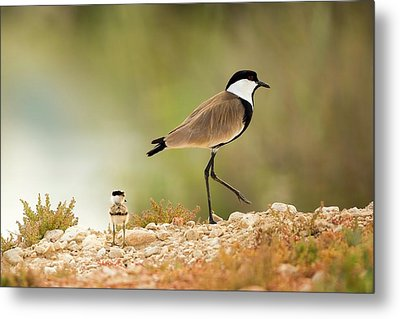 Spur-winged Lapwing Vanellus Spinosus Metal Print by Photostock-israel