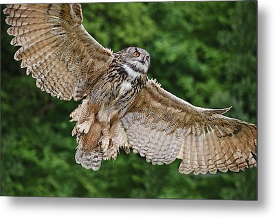 Stunning European Eagle Owl In Flight Metal Print by Matthew Gibson
