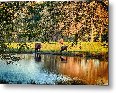 Thirsty Bison Metal Print by Sennie Pierson