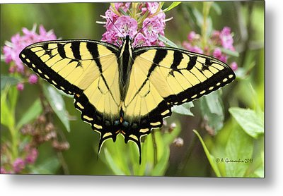 Metal Print featuring the photograph Tiger Swallowtail Butterfly On Milkweed Flowers by A Gurmankin