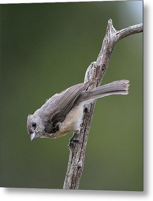 Tufted Titmouse Metal Print by Todd Hostetter