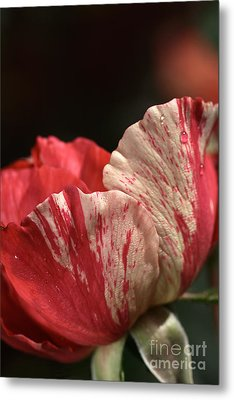 Two Toned Rose Metal Print by Joy Watson