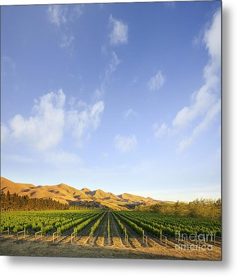 Vineyard In Canterbury New Zealand Metal Print by Colin and Linda McKie