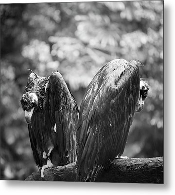 White-backed Vultures In The Rain Metal Print by Pan Xunbin