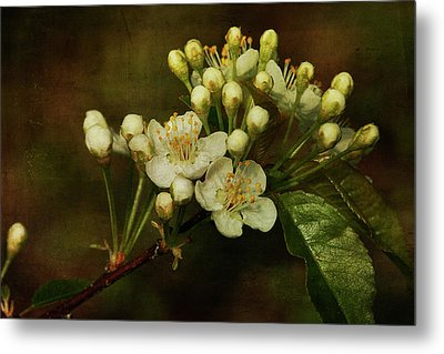 White Blossoms Metal Print by Cindi Ressler