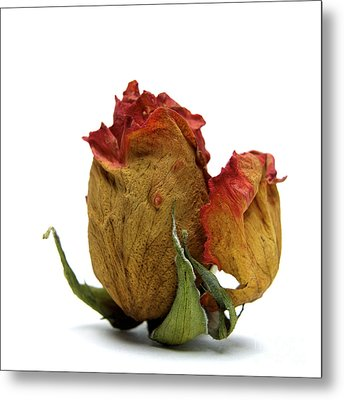 Wilted Rose Metal Print by Bernard Jaubert