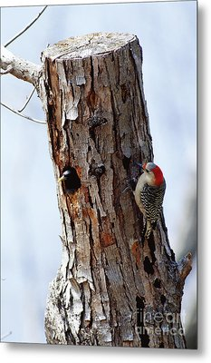 Woodpecker And Starling Fight For Nest Metal Print by Gregory G. Dimijian